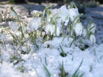 snowdrops-793435_960_720